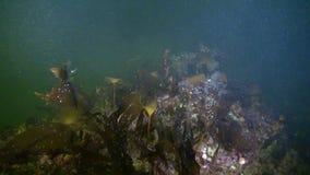 Tiroteo único del underwter de los buceadores en hielo del mar blanco almacen de video
