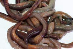 Tiroteo macro de los gusanos rojos del dendrobaena, cebo vivo de la lombriz de tierra para pescar fotografía de archivo