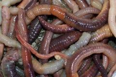 Tiroteo macro de los gusanos rojos del dendrobaena, cebo vivo de la lombriz de tierra para pescar fotos de archivo