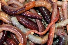 Tiroteo macro de los gusanos rojos del dendrobaena, cebo vivo de la lombriz de tierra para pescar foto de archivo libre de regalías