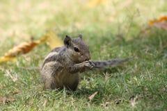 Tirs étroits de l'écureuil ayant quelque chose image libre de droits