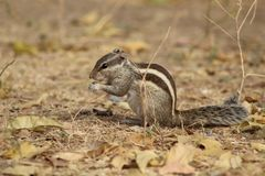 Tirs clairs et étroits d'écureuil derrière la nature photo libre de droits