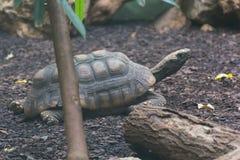 Tirtle或草龟 免版税库存图片