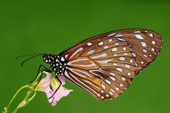 Tirumala septentrionis /butterfly är sugande nectar Royaltyfri Foto