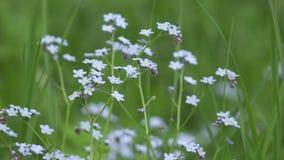 Tis del ³ di Myosà Il vento oscilla i fiori blu di un nontiscordardime contro lo sfondo di bello un lato dalle erbe verdi archivi video