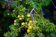 Tis im Wald, grüne Kiefernnadeln lizenzfreie stockbilder