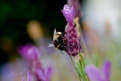 Tischler Bee Stockfoto