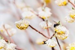 Tischler Bees Pollinating Flowering Bush Lizenzfreie Stockfotografie
