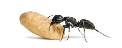 Tischlerameise, Camponotusvagus, ein Ei tragend lizenzfreies stockbild