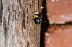 Tischlerbiene in der Natur stockfotografie