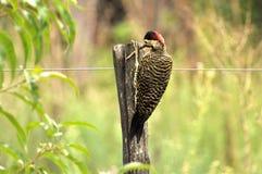 Tischlervogelfunktion auf Holz lizenzfreie stockbilder