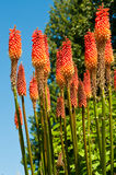 Tisonnier d'un rouge ardent coloré contre un ciel bleu dans Bellevue botanique Photos stock