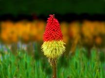 Tisonnier d'un rouge ardent de fleur de Kniphofia, lis de torche, usine de tisonnier Images stock