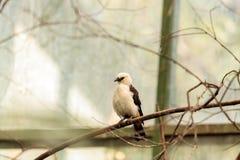 Tisserand à tête blanche de buffle, dinemelli de Dinemellia image libre de droits