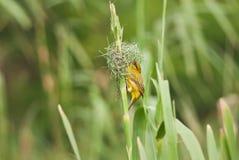 Tisserand construisant un nid photos stock