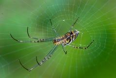 tisserand d'or d'araignée de corps rond Photographie stock