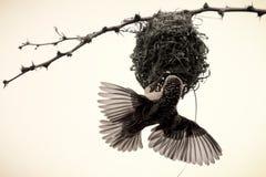 Tisserand masqué construisant un nid Images stock