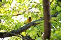 Tisserand masqué du sud dans un arbre photo stock