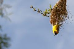 Tisserand masqué du sud et son nid Images stock