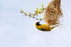 Tisserand masqué du sud et son nid Photo libre de droits