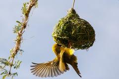 Tisserand masqué du sud et son nid Photographie stock