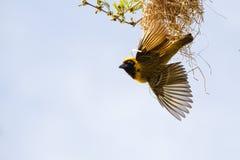 Tisserand masqué du sud et son nid Photos libres de droits