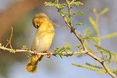 Tisserand masqué - fond sauvage africain d'oiseau - beauté de sommeil Images stock