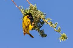 Tisserand masqué par jaune du sud Images stock