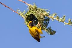 Tisserand masqué par jaune du sud Image libre de droits