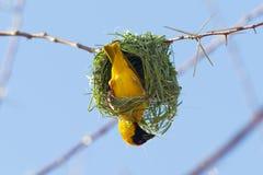 Tisserand masqué par jaune du sud Photographie stock libre de droits