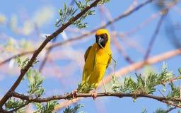 Tisserand masqué par jaune du sud Photos libres de droits