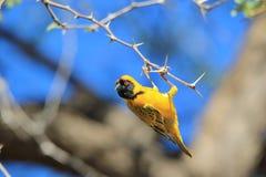 Tisserand masqué par noir - fond sauvage africain d'oiseau - acrobate drôle Photographie stock libre de droits