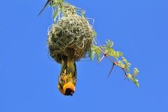 Tisserand masqué par noir - fond sauvage africain d'oiseau - maison douce à la maison Photos stock