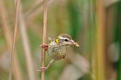 Tisserand strié (oiseau) Images libres de droits