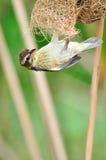 Tisserand strié (oiseau) photographie stock