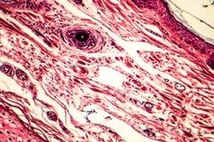 Tissu conjonctif, micrographe léger photo libre de droits