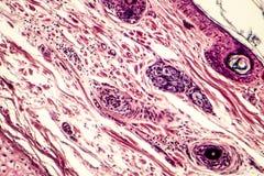 Tissu conjonctif, micrographe léger images stock