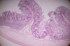 Tissu d'intestin grêle ou de petites entrailles sous le microscopique photos stock