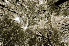Tissu de forêt - les cimes d'arbre abrègent la vue dans le sephia Image stock