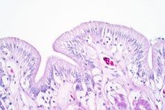 Tissu humain de gros intestin sous la vue de microscope images libres de droits
