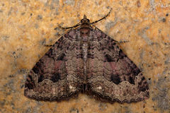The tissue moth (Triphosa dubitata) Stock Photos