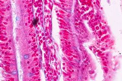 Tissue of small intestine or small bowel under the microscopic. Tissue of small intestine or small bowel under the microscopic in Lab stock photos