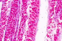 Tissue of small intestine or small bowel under the microscopic. Tissue of small intestine or small bowel under the microscopic in Lab stock images