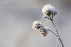 Tistel med frost Royaltyfria Foton