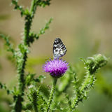 Tistel och Buterfly Royaltyfri Fotografi