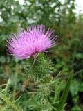 Tistel - Skottland blomma Arkivfoto