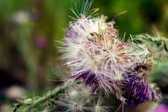 Tistelblomma (Carduuscrispusen) Royaltyfri Foto