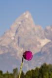 Tistelblomma framme av berget Arkivbilder