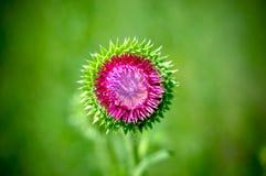 Tistelblomma i gräsplan Royaltyfri Fotografi