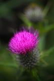 Tistelblomma och emblem av Skottland Fotografering för Bildbyråer